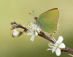 Green Hairstreak Callophrys rubi (Iain Leach) Tags: macro nature beautiful beauty closeup canon butterfly insect outdoors photography image wildlife moth conservation lepidoptera photograph invertebrate macrophotography greenhairstreak birdphotography beautyinnature wildlifephotography callophrysrubi canoncameras canon5dmk3 canon1dx wwwiainleachphotographycom iainhleach