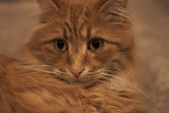 Clem Thursday: Relaxin' (Photo Amy) Tags: red orange cute cat ginger kitten feline tabby longhair adorable precious cuddly cuteness tabbycat ef50mm18 longhairedcat canoneos50d