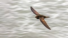 Swift (Distinctly Average) Tags: bird water canon wildlife flight reservoir handheld swift tring hertfordshire bif herts 100400 startops distinctlyaverage phillluckhurst 7dmark2 wwwdistinctlyaveragecouk