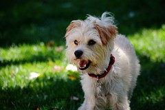 Excited Yorkshire Terrier Mix (sonstroem) Tags: dog pet pets cute dogs yorkie puppy happy yorkshire terrier yorkiepoo yorkipoo