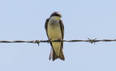 7K8A8828 (rpealit) Tags: tree bird nature scenery wildlife area swallow hatchery pequest