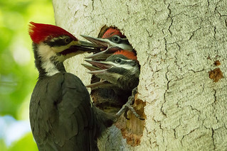 Pileated Woodpecker family-5290