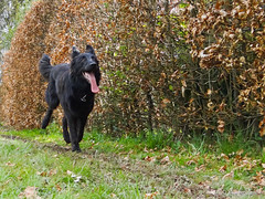 Big tongue girl (Louloulerot) Tags: dog chien motion nature dutch shepherd hond run berger hollandais dutchshepherd herder hollandse bergerhollandais