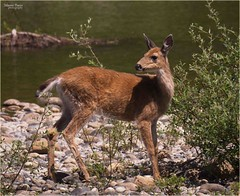 river's edge (marneejill) Tags: plants female vancouver island rocks pretty young deer riverbank alert