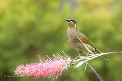Yellow-Spotted Honeyeater 710_7119.jpg (Mobile Lynn) Tags: wild nature birds au australia queensland honeyeater yellowspottedhoneyeater wongalingbeach
