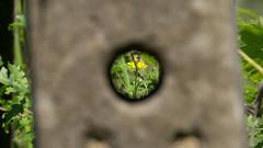 P1030238 (Alberto Nocentini) Tags: macro primavera estate arte natura panasonic campagna giallo campo sole cemento fiore prato disegno giardino trama sfocato vigna soggetto gh2