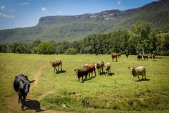 Kangaroo Valley (Visit Shoalhaven) Tags: cliff green cow cattle farm country kangaroo valley paddock escarpment shoalhaven unspoilt