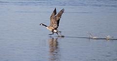 Air Canada (Pauline Brock) Tags: bird nature water flying wildlife flight goose waterfowl canadagoose birdinflight