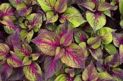 Coleus (s.d.sea) Tags: pink red plants chicago green nature garden outdoors illinois midwest pentax foliage northshore glencoe botanic shrub coleus enjoyillinois