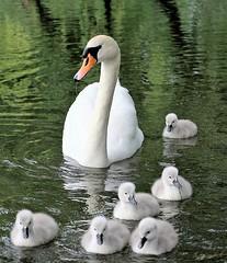Swan family (yorkiemimi (back home for a little while)) Tags: white bird nature animal germany deutschland swan natur schwan tier vogel mecklenburg mritz waren