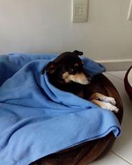 Bom dia para voc que sentiu frio esta noite. #pet #instapet #dog #srd #viralata #pituca. (NelsonBritoJr) Tags: ifttt instagram nelson brito jr   fotografia pet cachorro co srd companheiro
