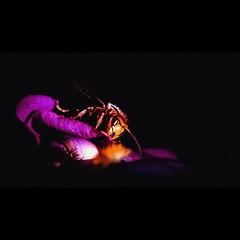 Hornet /  (aleksejchervjakov) Tags: red black flower macro insect latvia hornet