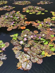 Lily pond (anitablackman49) Tags: colors pond lillies lilypad waterlillies