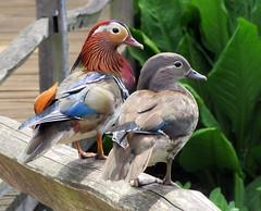 Mandarin Ducks (ROBTHEGOB) Tags: bird birds duck wildlife ducks mandarinduck ornithology windsorgreatpark mandarinducks savillgarden featheredfriends