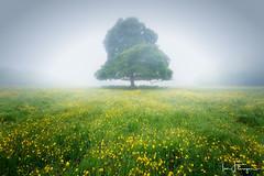 Buttercups in the Mist ( Ian Flanagan) Tags: mist tree wet fog damp buttercups atmosphric