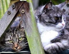 Die einzige Methode, ... (SpitMcGee) Tags: friends pet cat leo explore katze freunde kater lizzi 82 gardenchair ralphwaldoemerson gartenstuhl spitmcgee