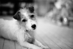In My House (moaan) Tags: japan jp dog jackrussellterrier kinoko portrait dogportrait indoor bw monochrome bokeh dof utata leica mp leicamp summilux 50mm f14 summilux50mmf14 2016