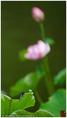 Dragonfly in Japanese zen garden (Damien Douxchamps) Tags: west japan temple kyoto lotus dragonfly  western   myoshinji kansai japon  ukyo  kinki  taizoin   myoushinji ukyou templecomplex     taizouin