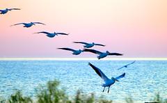 Dawn Landing (imageClear) Tags: lake color pelicans nature beauty birds wisconsin sunrise dawn fly aperture nikon flickr pastel earlymorning lakemichigan landing incoming lovely sheboygan photostream bif 80400mm americanwhitepelican d600 birdphotography imageclear