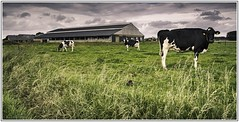 005_9809-10-2 (PPL1960) Tags: cow farm lait dairy ferme vache soignies bailli