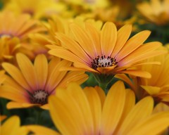Yellow river ... :-)) ( Bo ) Tags: osteospermum africandaisy flower plant garden outside backyard macro uk england britain bokeh europe summer2016 june colourful yellow white black green colour petal nature yellowriver