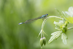 28 06 2016 Agrion porte coupe enallagma cyathigerum (rjp62126) Tags: france macro canon eau bleu demoiselle lille parc nord insecte libellule flore macrophotography faune zygoptera macrophotographie plandeau canon6d hautsdefrance parcdesgant 90f28spvcusddi
