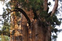 Sequoia National Park, CA (lotos_leo) Tags: sequoia nationalpark ca california nature travel outdoor поамерике crossamerica2015 секвоянэшнлпарк калифорния tree giantsequoia