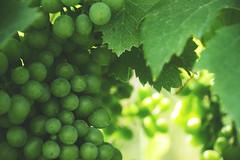 l'amore per la terra da solo buoni frutti (C-Smooth) Tags: love rural wine quality grapes passion growing uva valtellina docg nebbiolo redwines