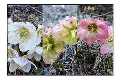 hellebores (alamond) Tags: white plant color green nature canon violet 7d l hellebore usm ef f4 1740 mkii markii brane llens alamond zalar