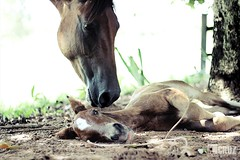 Motherly tenderness (#KarineOggPhoto) Tags: horse color love mom criollo mare amor sombra shade mae cavalos cavalo tenderness égua potro foal ternura crioulo potrinho kcruz cavalocrioulo horsekcruz animalkcruz animalskcruz