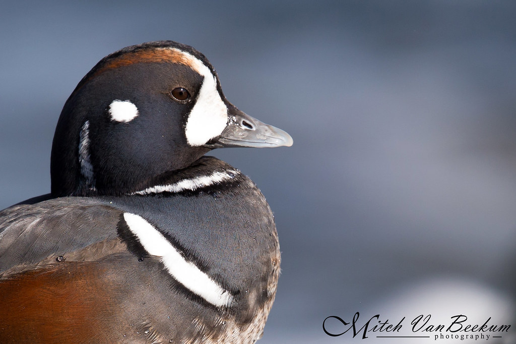 Male Harlequin Duck
