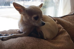 2015-03-22_In The Window (Mark Burr) Tags: chihuahua nose eyes ears paws