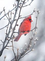 Cardinal in Snow (daveantphoto) Tags: cardinal