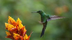 Green-crowned Brilliant (Raymond J Barlow) Tags: travel orange green bird yellow costarica hummingbird wildlife birdinflight raymondbarlow raymondbarlowphototours