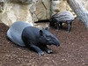 Tapirs (1) (bookworm1225) Tags: zoo october minnesotazoo 2013 tropicstrail minnesotatrail