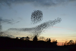 Starling Murmuration 67