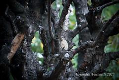 11/53 - Mimetismo (Alejandro Vaccarili) Tags: tree bird camouflage ave rbol mimicry pjaro camuflaje