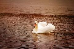 Swan Beauty (anjanpatel) Tags: park city lake toronto ontario canada beach river spring swan pond highpark grenadierpond anjanpatel