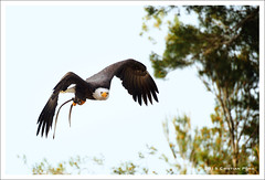Cim de les guiles (Cristian Pons) Tags: birds eagle ocells guila d3s nikon70200vrii
