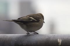 Finch (fringilla coelebs)