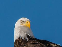 Up Close - - Not TOO Personal ! (Wade.J.) Tags: bird newfoundland nikon eagle flight bald american raptor tamron d800 tamron150600 wadejanes