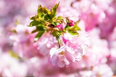 Forr p Kirkegrden (Facebook: TsPhotography.UE) Tags: pink bloom kbenhavn blooming bispebjerg forr lyserd japanskkirsebrtrer