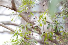 White Squirrel (SashaAzevedoPhotography) Tags: sc nature canon squirrel wildlife southcarolina charleston whitesquirrel mammals goosecreek zoology lowcountry canonrebelt1i crowfieldplantation march112012 ©sashaazevedo