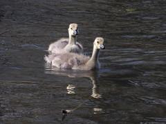 Geese Chicks (abiodun ritchie) Tags: canada geese ducks chicks mallard