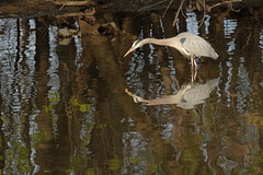 Double vision (Jackpicks) Tags: philadelphia heron birds wildlife birding greatblueheron schuylkillriver