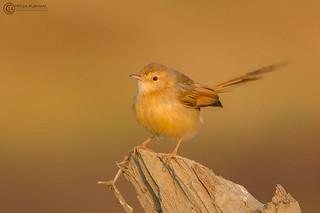 Golden bird ( Plain Prinia )