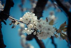 Spring bouquet (ikehOn!) Tags: flower fleur switzerland sony 7 sigma alpha cerisier 1835