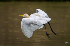 ...Cattle Egret (Bubulcus ibis)... (Movin Photography) Tags: bird nature canon flying cattle action wildlife ngc birding egret bangladesh select savar 600d 55250mm
