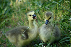 Happy Chicks (Maggggie) Tags: cute nature grass birds yellow geese goslings canadageese 52in2016