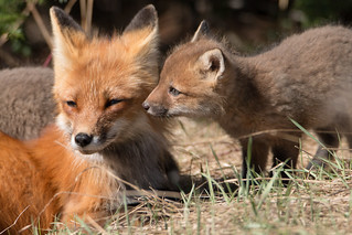 Fox Kit and Mother
